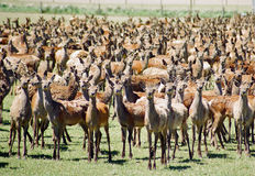 Deer farming Royalty Free Stock Photos