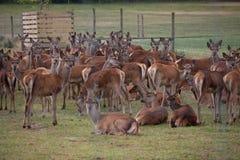 Deer farming Stock Image