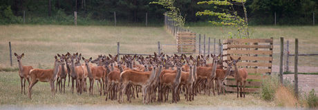 Deer farming Royalty Free Stock Photography