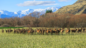 Deer farming Stock Photography