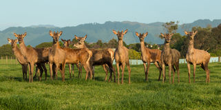Deer Farming New Zealand. Herd of deer on a New Zealand farm Stock Photo