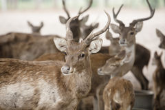 Deer farms Royalty Free Stock Photo