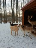 Deer family. Deer father, mother and two baby deers royalty free stock image