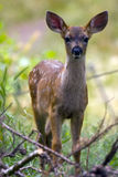 Deer fawn in the brush. A young deer in the brush royalty free stock photos