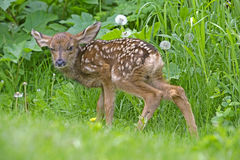 Deer Fawn Royalty Free Stock Photos
