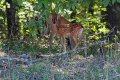 Deer and fawn stock images