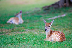 Deer fawn on grass Stock Photography