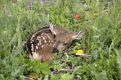 Deer Fawn hiding Royalty Free Stock Photo