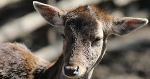 Deer fawn in wild forest stock video footage