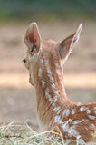 Deer fawn rear large Royalty Free Stock Photo