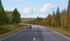 Deer with fawn on the road Stock Images