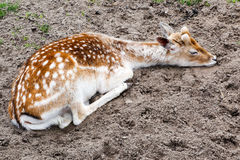 Deer fawn sleeping Stock Photo
