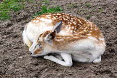 Deer fawn sleeping Royalty Free Stock Photos