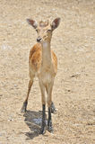 Deer fawn standing Royalty Free Stock Image