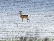 Deer. Fawn standing in a field and looks for threats Royalty Free Stock Images