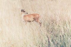 Deer fawn standing in tall grass. Stock Photos