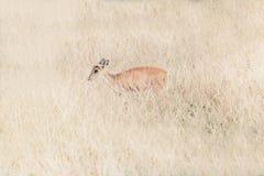 Deer fawn standing in tall grass. A deer fawn standing in tall grass Stock Image