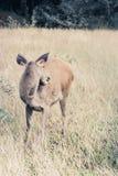 Deer fawn standing in tall grass. Stock Photo