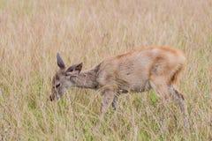 Deer fawn standing in tall grass. A deer fawn standing in tall grass Stock Photography