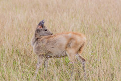 Deer fawn standing in tall grass. Royalty Free Stock Image