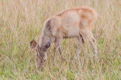 Deer fawn standing in tall grass. A deer fawn standing in tall grass Royalty Free Stock Photography