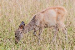 Deer fawn standing in tall grass. A deer fawn standing in tall grass Royalty Free Stock Photos