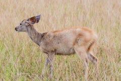 Deer fawn standing in tall grass. A deer fawn standing in tall grass Royalty Free Stock Image