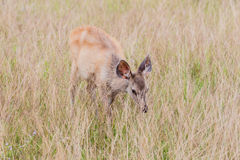 Deer fawn standing in tall grass. Stock Photography