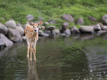 Deer fawn Royalty Free Stock Images