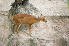 Deer Fawn Stock Photography