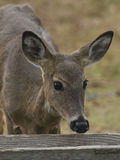 Deer at a feeder Stock Photography