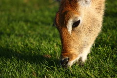 Deer feeding Stock Photography