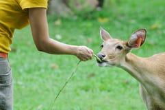 Deer feeding Stock Images