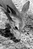Deer feeding Stock Photography