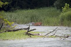 Deer feeding on aquatic plants Stock Image