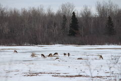 Deer feeding. In the field Stock Photos