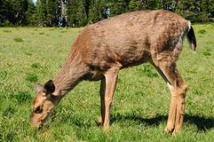 Deer feeding on grass Stock Photos