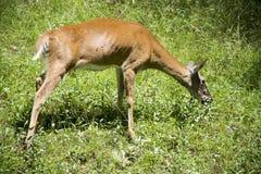 Deer feeding on green grass royalty free stock photos