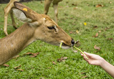 Deer feeding with hands Royalty Free Stock Photography