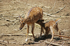 Deer feeding its fawn Royalty Free Stock Photo