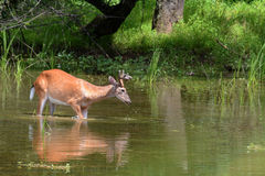 Deer feeding. A male whitetail deer wading in the shallow end of a lake to feed on aquatic vegetation.   The antlers on this buck are still growing and are in Stock Images