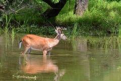Deer feeding royalty free stock images