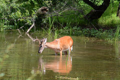 Deer feeding royalty free stock photo