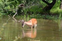 Deer feeding royalty free stock image