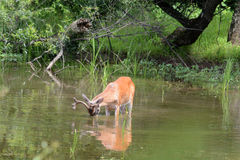 Deer feeding royalty free stock photo