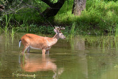 Deer feeding. A male whitetail deer wading in the shallow end of a lake to feed on aquatic vegetation.   The antlers on this buck are still growing and are in Royalty Free Stock Image