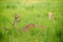 Deer feeding on the meadow Stock Photos