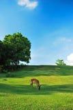 Deer Feeding On Grass Stock Photo