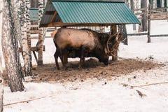 Deer Feeding in Winter Royalty Free Stock Photo