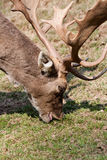 Deer feeds grass Royalty Free Stock Images